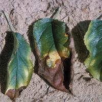 Бор - Симптомы избытка бора у яблони