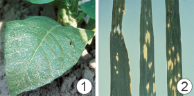 Марганец - Симптомы недостатка марганца:</p> хлоротичные пятна между жилками