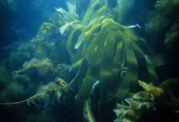 Йод - Морские водоросли