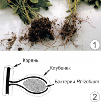 Азот - Азотофиксирующие клубеньки бобовых