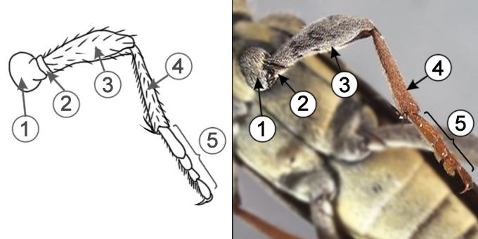 Вертлуг - Строение ног насекомых
