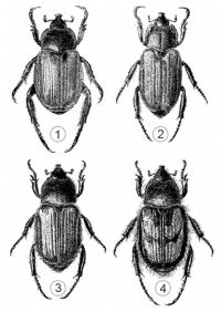 Хлебные жуки - Виды Хлебных жуков