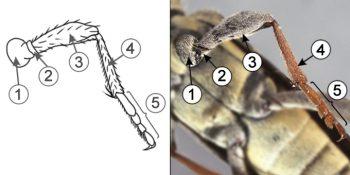 Бедро - Строение ног насекомых