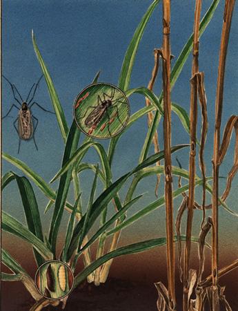 Мухи внутристеблевые - Повреждение зерновых </p>Гессенской  мухой </p>(Mayetiola destructor)
