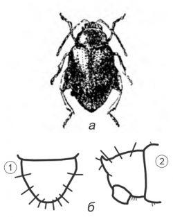 Блошки свекловичные - Южная свекловичная блоха</p> (Chaetocnema breviuscula)