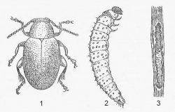 Блошки хлебные - Стеблевая хлебная блоха </p>(Chaetocnema hortensis)