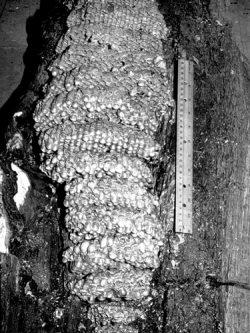 Шершни - Гнездо шершня обыкновенного</p> (Vespa crabro)