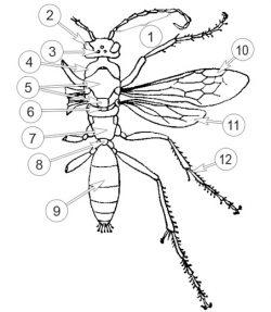 Осы - Внешнее строение Дорожной осы </p>(Priocnemis affinis)