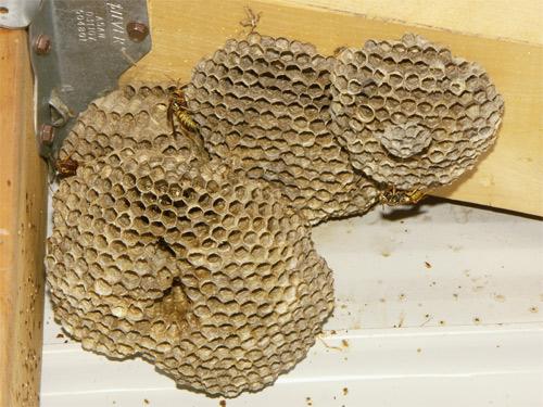 Осы - Гнездо Mischocyttarus flavitarsis