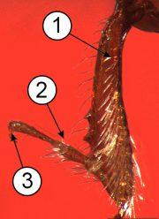 Лапка - Прицепной аппарат ноги насекомого