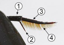 Лапка - Лапка жука-плавунца