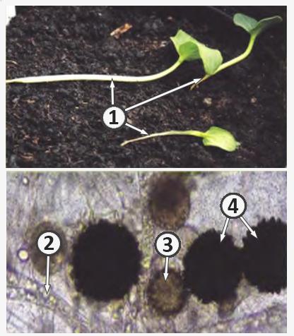 Возбудитель болезни - Корневая гниль сеянцев огурца.<br />Возбудители болезни – Pythium debarianum,<br />Pythium spinosum, Pythium spinosum