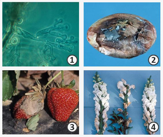 Возбудитель болезни - Поражение растений полифагом <i>Botrytis cinerea </i>