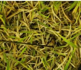 Острое заболевание - Острое заболевание – Тифулезное выпревание многолетних трав.