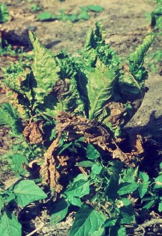 Растение-хозяин - Растение-хозяин вируса скручиваемости листьев свеклы <br /> (BLCV) (Rhabdovirus BLCV) – свекла обыкновенная (Beta vulgaris L.)