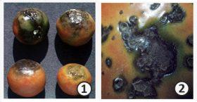 Симптом - Симптомы заболеваний томата <i>(Solanum lycopersicum)</i>