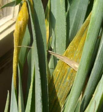 Симптом - Симптом Желтой ржавчины зерновых