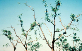 Хроническое заболевание - Хроническая форма персиковой мозаики на деревьях персика