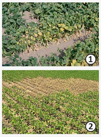 Этиология - Усыхания бобовых растений различной этиологии.