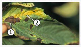 Паразит факультативный - Поражение листьев томата факультативным паразитом