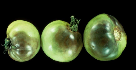 Гниль - Гниль плодов томата