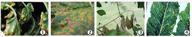 Некроз - Некрозы растений