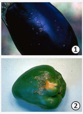 Язва - Язвы, образованные грибами и бактериями