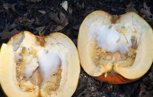 Мицелий - Мицелий <i>Phytophthora nicotianae</i> в тыквах