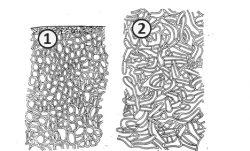 Ложная ткань - Анатомическое строение склероция (ложные ткани)