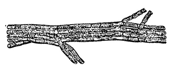 Мицелиальный тяж - Простой мицелиальный тяж