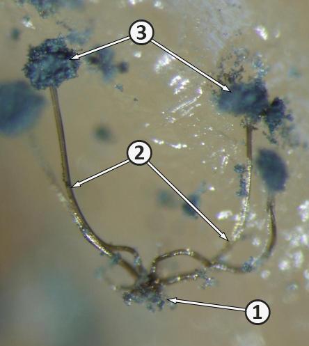 Ризоид - Ризоиды <i>Rhizopus stolonifer</i>