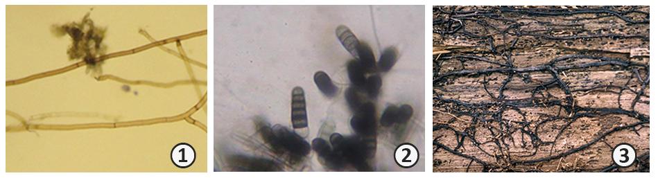 Вегетативное размножение - Структуры вегетативного размножения