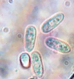 Конидия - Конидии <i>Colletotrichum orbiculare</i>