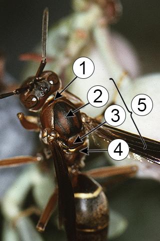 Мезосома - Мезосома у осы