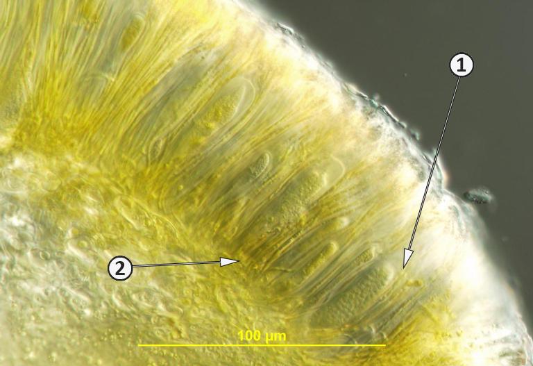 Парафизы - Поперечный разрез плодового тела <i>Sarea resinae</i>