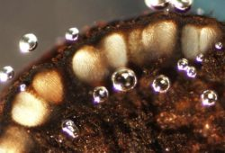 Псевдотеция - Вертикальный разрез аскостромы (псевдотеции) Gibbera vaccinicola