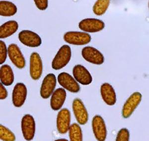 Экзоспорий - Окрашенные споры (конидии) <i>Diplodia mutila</i>