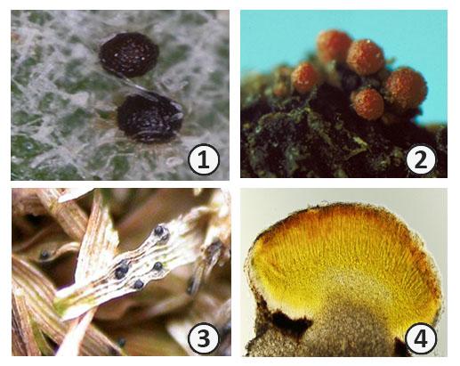 Плодовое тело - Типы плодовых тел Аскомицетов