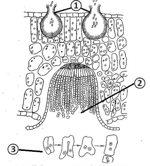 Соматогамия - Смена ядерных фаз <i>Puccinia graminis</i>