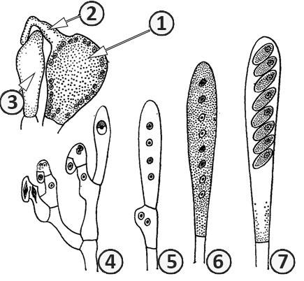 Гаметангиогамия - Развитие аска по способу крючка (гаметангиогамия).