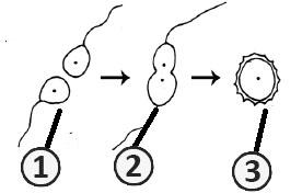 Гаметогамия - Тип полового процесса – гаметогамия (изогамия)