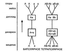 Гетероталлизм - Схема распределения пола у грибов