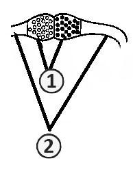 Зигофоры - Строение зигофор в начале зигогамии