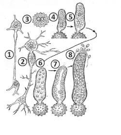 Хологамия - Хологамия  <i>Polyphagus euglenae</i>