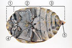 Брюшко насекомых - Типичное строение брюшка насекомых