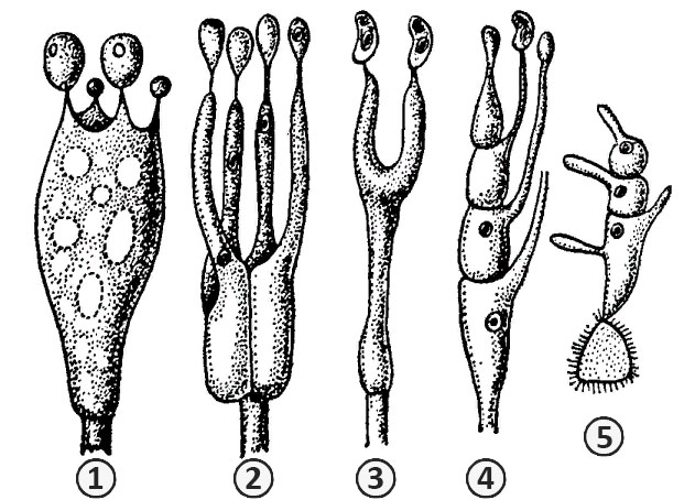 Базидия - Типы базидий