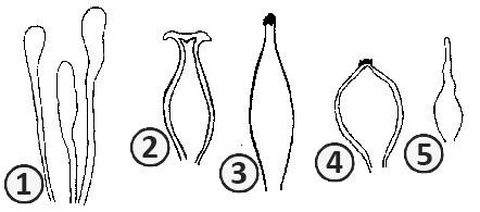 Цистиды - Разнообразие форм цистид