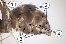 Брюшко насекомых - Плейральная мембрана на брюшке муравья