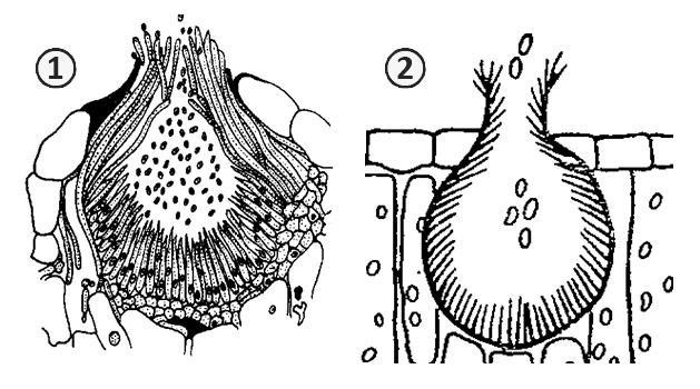 Сперматизация - Спермогонии грибов рода <i>Puccinia </i>