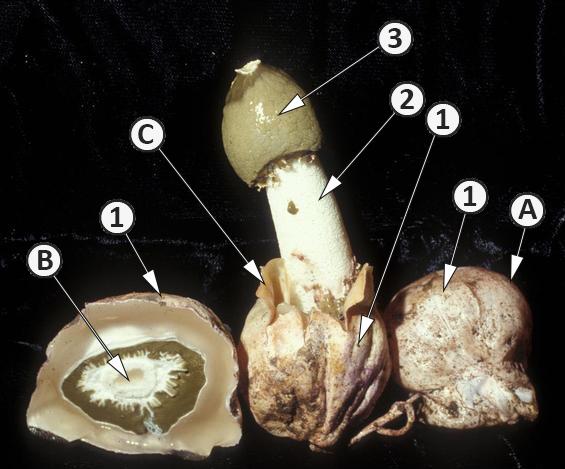 Перидий - Плодовое тело